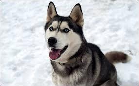 """Chien de taille moyenne souvent utilisé comme chien """"d'attelage"""", je ressemble à un loup et mon nom signifie """"enroué"""". Qui suis-je ? (2 images)."""