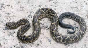 """Grand serpent des déserts américains, je suis parfois appelé """"serpent à sonnette"""". Mais quel est mon nom original ? (2 images)."""