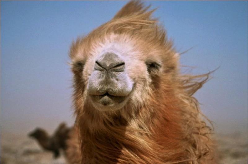 """Un chameau dit à un dromadaire : """" comment ça va ?"""". Le dromadaire répond : """" Bien, je bosse. Et toi '' ?"""