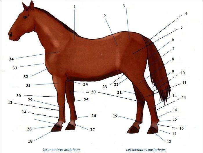 La morphologie du cheval