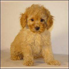 Quel est le pedigree de ce chien ?