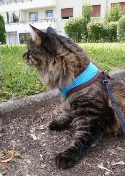 Quand tu vois un chat dans la rue (tenu en laisse), est-ce que tu ne peux t'empêcher de le regarder et de miauler à son intention ?
