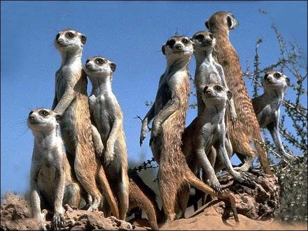 Combien de suricates voyez-vous sur cette image ?
