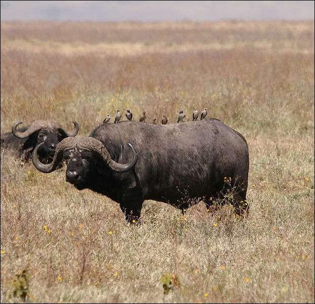 Le buffle est considéré comme l'un des animaux les plus dangereux d'Afrique. Il a été surnommé la...
