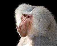 Les babouins sont herbivores.