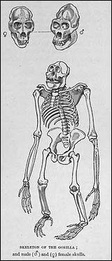A qui appartient ce squelette ?