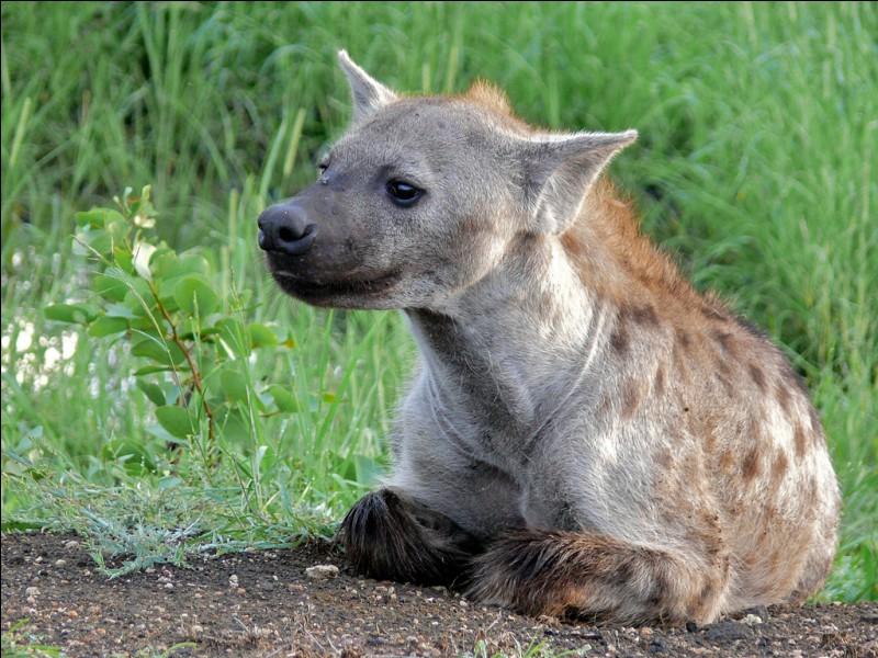 Chez les hyènes tachetées, qui est à la tête du groupe ?