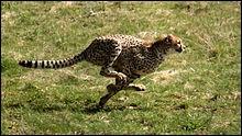 En 2 secondes, le guépard atteint ___ km/h en sprint.