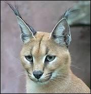 Comment appelle-t-on le papa du serval ?