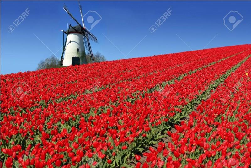 Partie 4 : Culture. Quelle fleur pousse en très grande quantité aux Pays-Bas ?