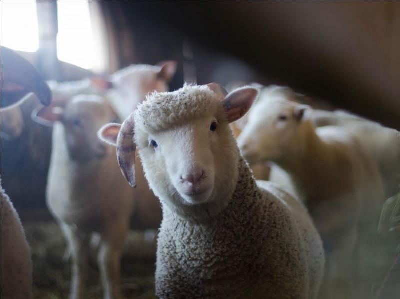Quel est le petit du mouton ?