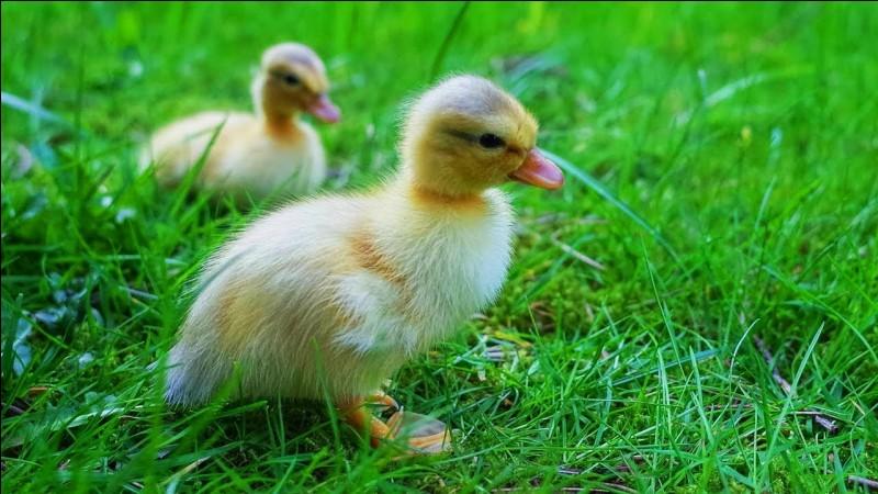 Où peut-on souvent trouver the duck ?