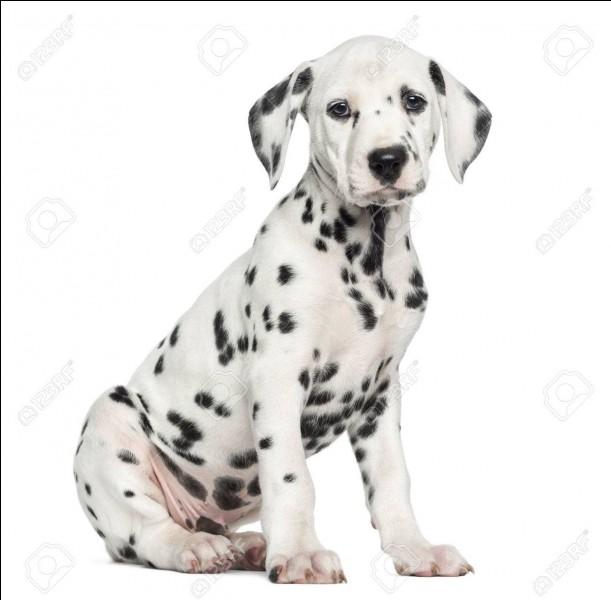 Les poils des dalmatiens sont :