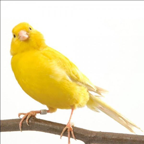 Les îles Canaries tirent leur nom de l'oiseau, le canari.