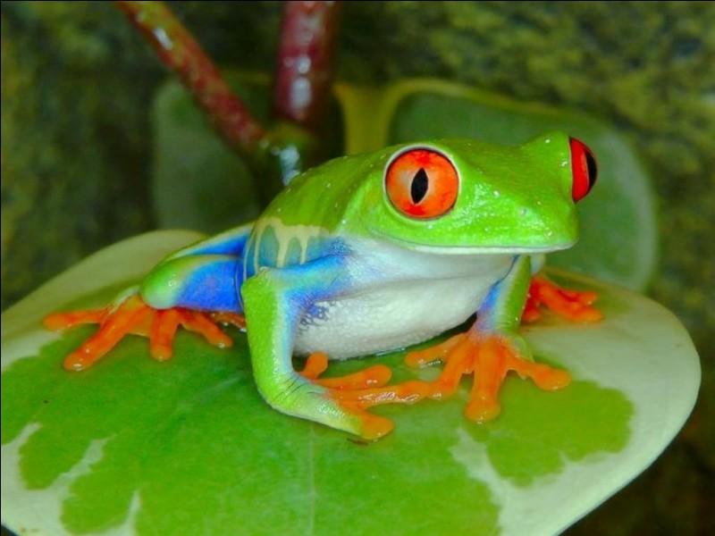Comment dit-on ''grenouille'' en anglais ?