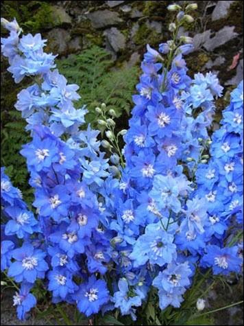 Ces superbes et grandes fleurs, dans des teintes de bleus magnifiques, sont des delphiniums (leur fleur portant une petite corne ressemblant au rostre du dauphin). Mais leur nom commun a rapport au pied. Quel est-il?