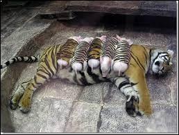 Comme tu peux le voir, cette tigresse élève cinq tigreaux !