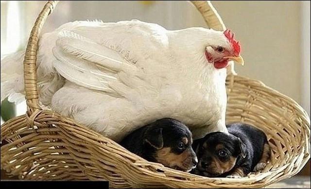 On se pose la question depuis longtemps, qui est arrivé le premier, l'oeuf ou la poule ? Et bien cette poule a résolu le problème, elle élève ...