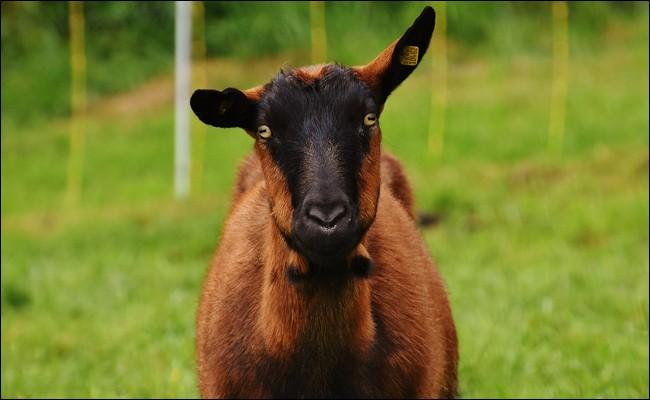 Comment appelle-t-on le mâle de la chèvre ?