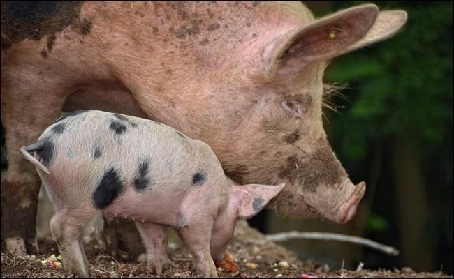 Le mâle de la truie est appelé cochon.