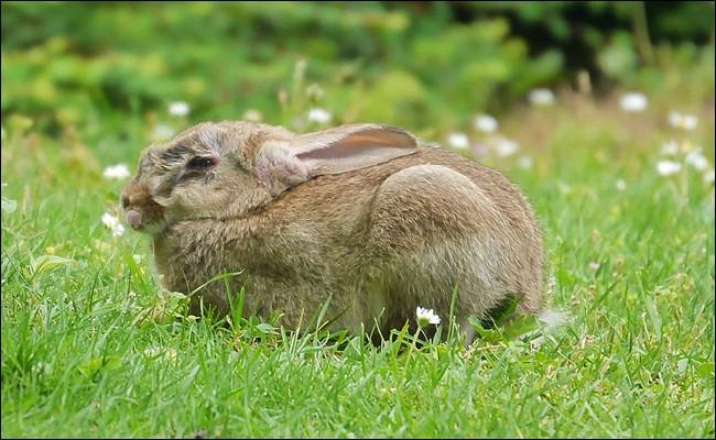 Dans les régions agricoles, les lapins font bon ménage avec les agriculteurs.