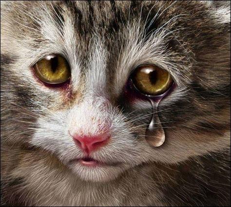 Les chats peuvent pleurer de vraies larmes de tristesse.