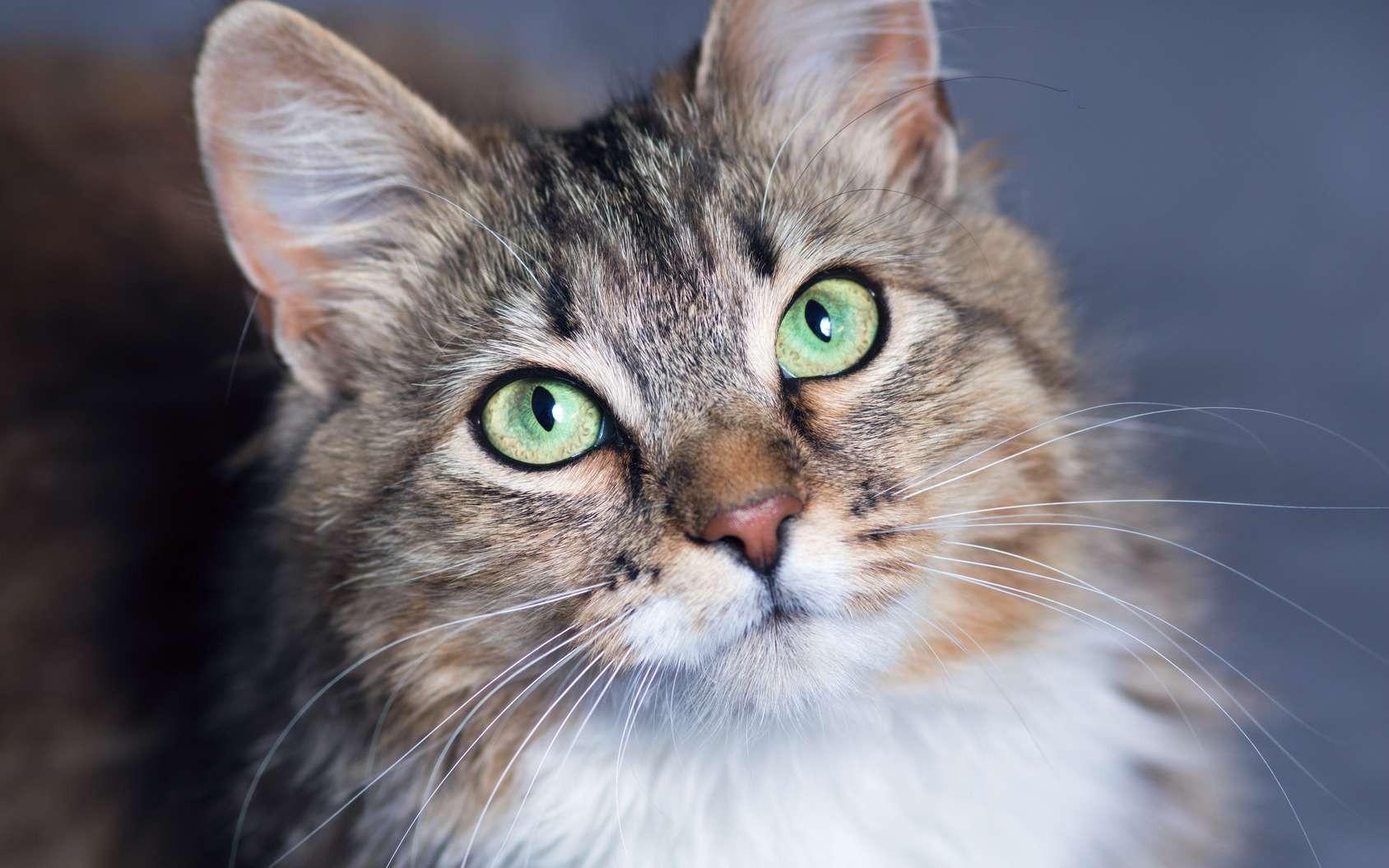 Les chats - Vrai ou faux