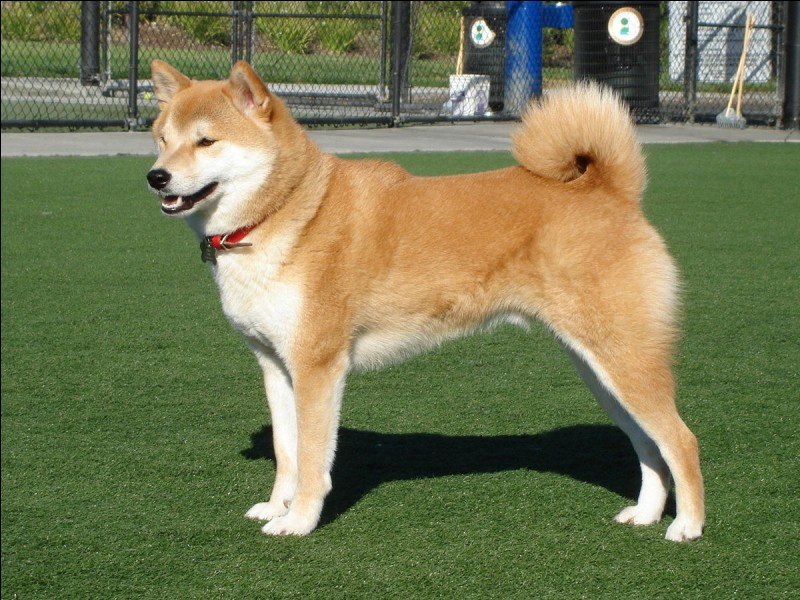 Un chien qui est à l'origine un chien de chasse, le :