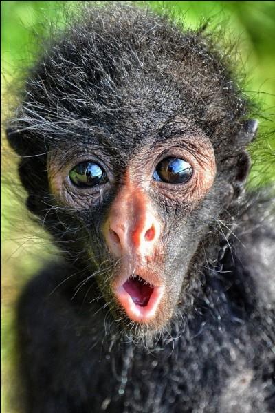 Les singes vivent...