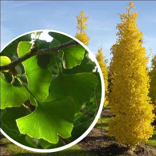 ''L'arbre aux quarante écus'' est un conifère caduc. Quel est son nom ?