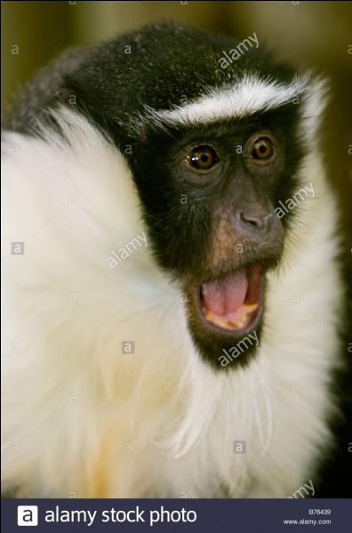Et la femelle du singe est...