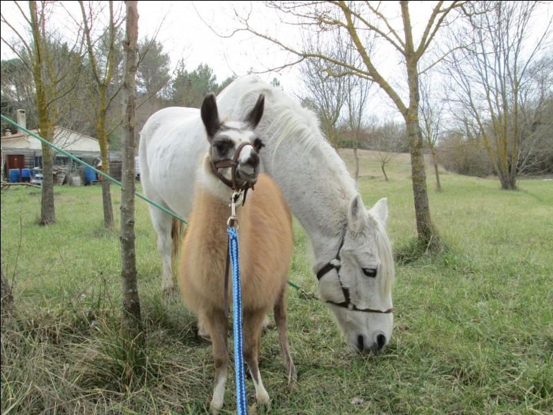 Que font le cheval et le lama ? (1 réponse possible)