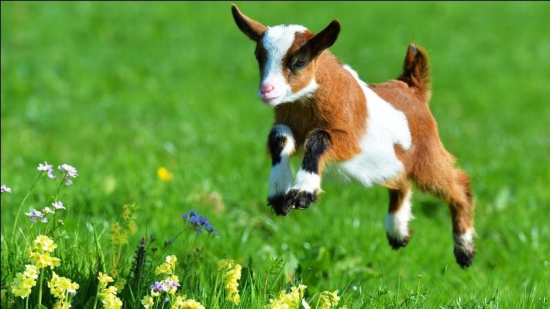 On dit que la chèvre... (2 réponses possibles)