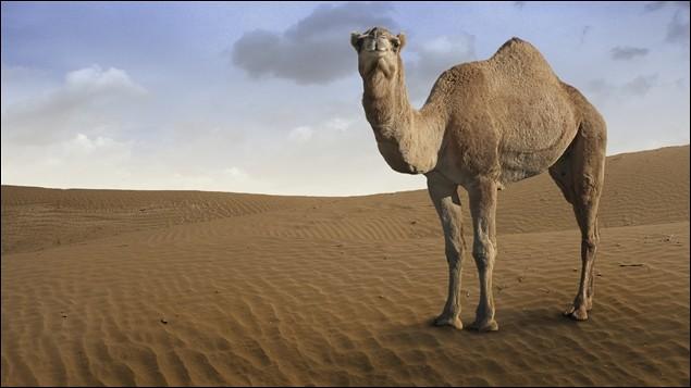 On dit que le chameau... (1 réponse possible)