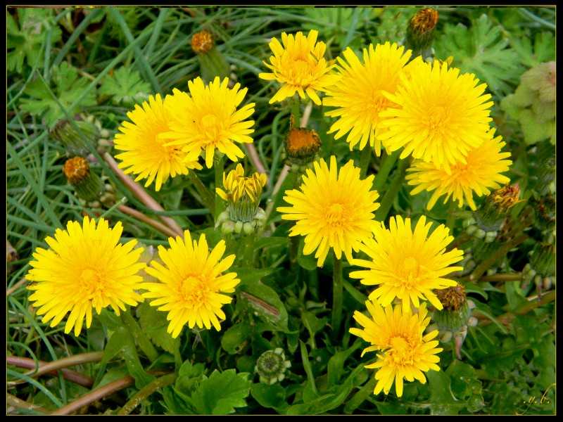 Quelle fleur est parfois utilisée comme ingrédient de recette ?