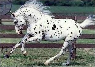 Quel est ce cheval tacheté ?