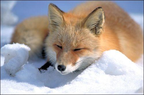 Le renard roux est une espèce menacée.