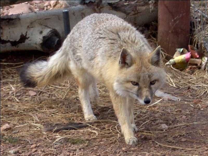 Combien existe-t-il de sortes de renards dans le monde ?