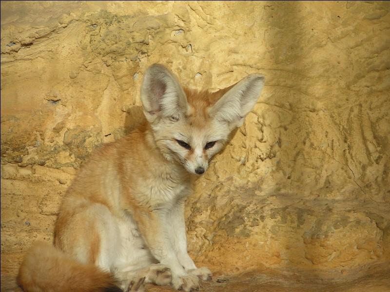 Le fennec est un renard...