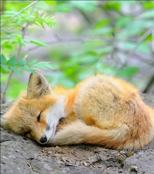Comment s'appelle le petit du renard ?