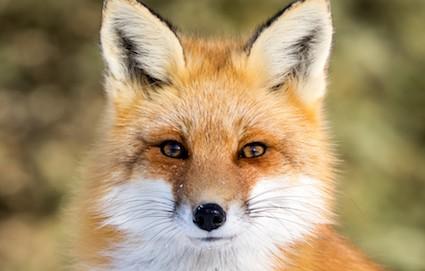 Autour du renard