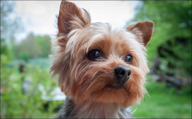 C'est un petit chien têtu de couleur fauve ou acier, avec de petites oreilles érigées en forme de V. Si vous avez une pelouse, surveillez-le pour le creusage de trous, il déborde de vitalité. C'est un chien de garde et il a tendance aux aboiements pour protéger ses amis :