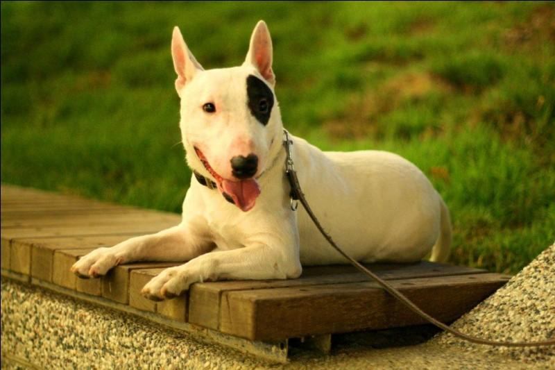 C'est un solide petit chien avec une incomparable tête ; sa robe est de poil court et soit, entièrement blanche, soit la couleur étant partagé sur la tête puis le corps et prédomine sur le blanc. Il aime bouger quotidiennement et adore ses maîtres :