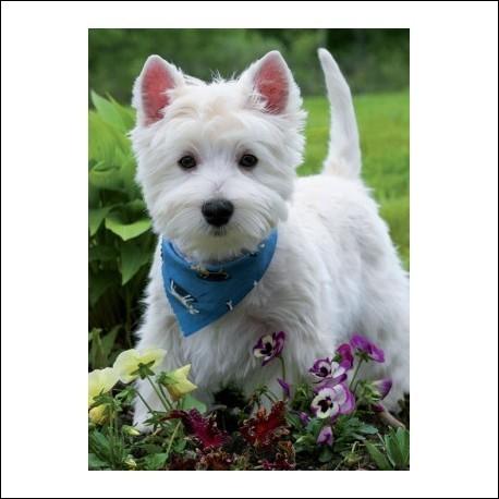 Ce petit terrier est tout blanc et ondulé, il a des allures de peluche et ses oreilles sont dressées en forme de V. Il a la bougeotte et aime sortir avec son maître. Parfait chien pour les enfants :