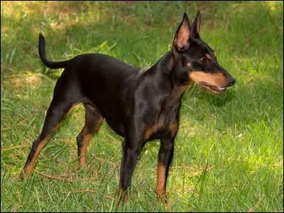 Cet élégant terrier à la longue et étroite tête, aux oreilles bien au dessus de la tête, à la robe d'un noir ou feu lisse, est un chien très robuste. C'est un ami docile et calme qui peut aussi devenir un bon gardien :
