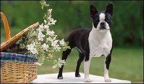 C'est un chien attachant et attaché. Il est noir et blanc au poil court, oreilles pointues et a le comportement d'un petit bouffon. C'est un chien doux avec les enfants et il aime bien jouer :