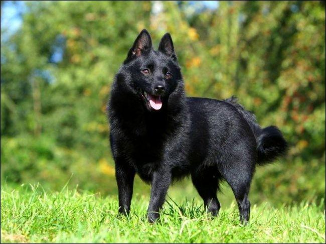 Lui sa tête ressemble à celle d'un renard et son corps, à celui d'un loup. Sa robe est toujours noire et ses oreilles triangulaires. C'est un chien territorial, bien obéissant, équilibré et un copain puissant et très bon sportif :