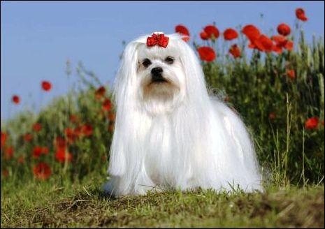 Ce chien est d'un étonnant blanc ou ivoire pur, son poil est long, lisse et brillant. Une petite boucle lui va toujours à merveille. Il a les oreilles tombantes et le museau noir qui ressort beaucoup. Bon petit chien qui apprend vite car il est intelligent :