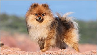 Ce petit chien a tout un caractère dont il faut tenir compte et on doit apprendre à orienter toute cette vigueur ; il est aussi souvent jappeur. Son poil est long avec un sous-poil court, oreilles petites et pointues et sa queue est enroulée sur son dos :