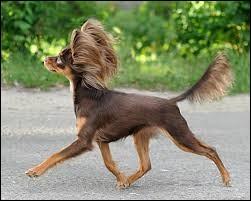 C'est un élégant chien de petite taille à l'allure dynamique qui possède des yeux petits et ronds et dont les longues oreilles sont remarquables. C'est un joyeux petit chien qui s'adapte très bien à la vie en ville et en appartement :